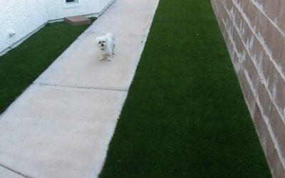 walking Vegas Artificial Grass dog